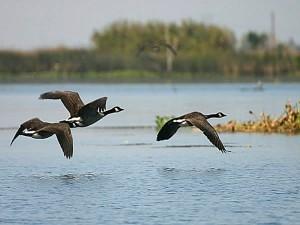 SWAP-Geese-Delta