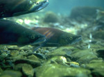 dvf-Chinook-salmon