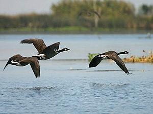 DVF-Geese-Delta-blog